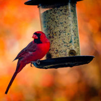 Red cardinal on plastic-surrounded bird feeder