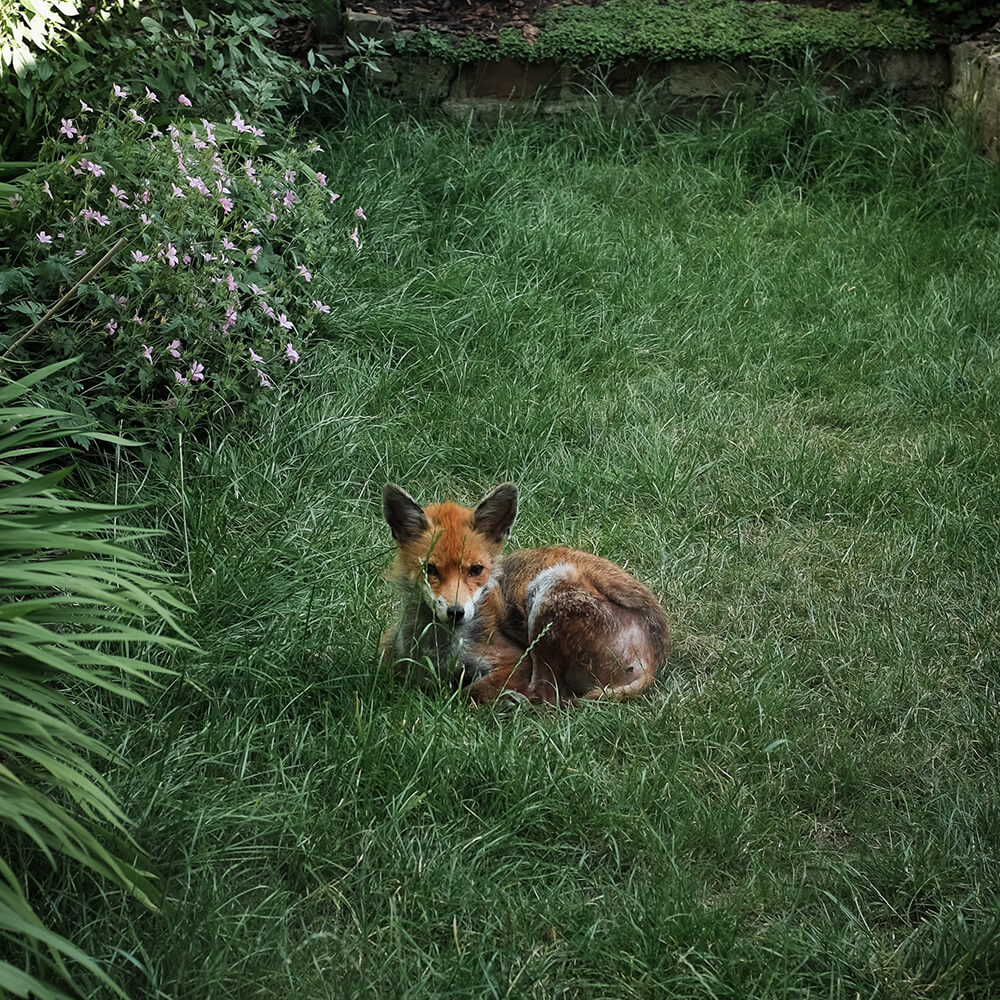 How to get rid of Foxes - In the Know - Pest Control