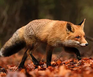 Get Rid of Foxes