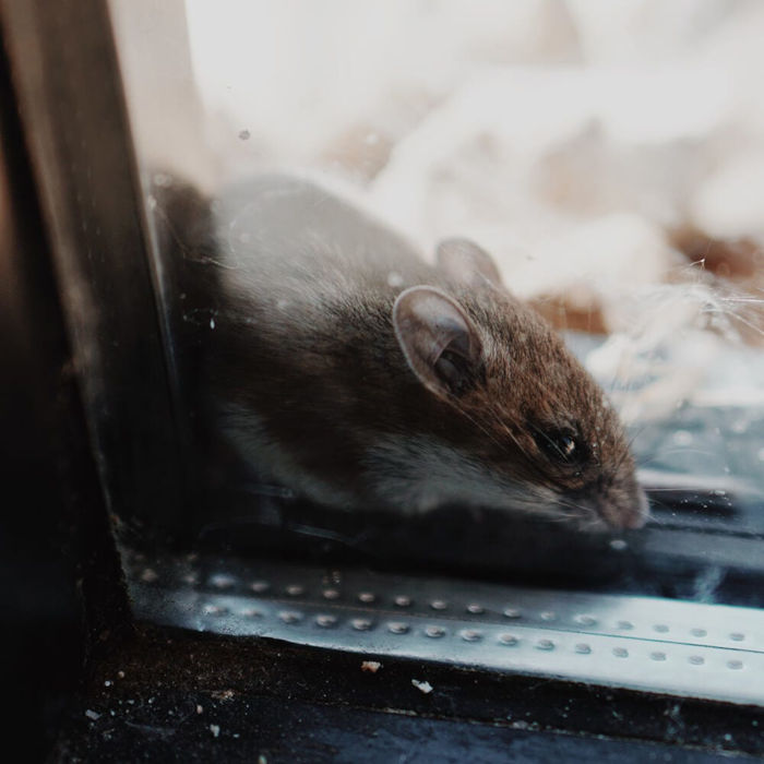 Closeup of a mouse on the opposite side of a window to the camera